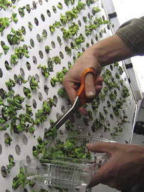 A grower cuts plants from the openings of the chamber with scissors