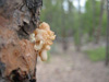 Arming trees against pine beetle invasions